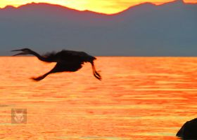 Heron Against Orange Water While Flying by wolfwings1