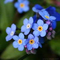 Forget-me-not by Yanzibar