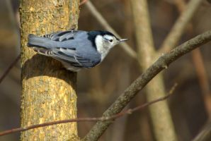 Nutty Nuthatch by lenslady
