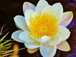 water lily by crazygirl1995zy