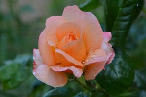 Rose of my garden after rain by A1Z2E3R