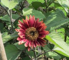 Red Sunflower 5 by Kattvinge