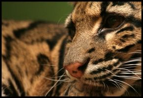 clouded leopard 2 by Draghonia