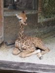 Baby Giraffe by stock-it