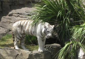 White Tiger by cattysmith