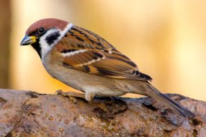 Eurasian Tree Sparrow Simple Portrait by WojciechGrzyb