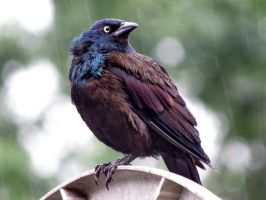 a grackle in the Rain by Nipntuck3