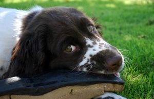Kulan a springer spaniel by Honeycorn