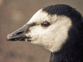 Barnacle Goose by Dellboyy
