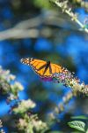 Butterfly by Perryrox1015