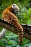 Red Panda IV by darkcalypso