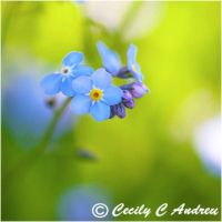 Forget-me-not by CecilyAndreuArtwork