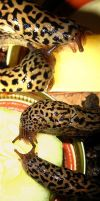 My Leopard Slugs by Scutigera