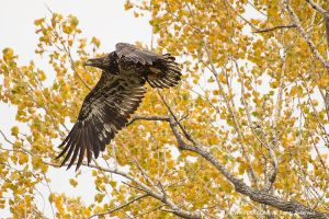 Young Bald Eagle by CRELLIOTT0302