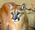 Cougar Portrait by amorphousdebris