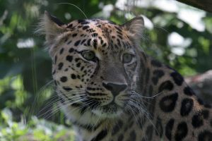 Leopard by Arctictouch