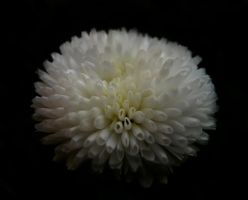 Puff Flower by Photopathica