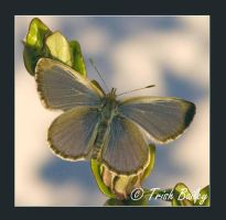 Lacewing butterfly 2 by Nanakiwi