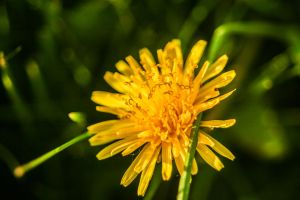 Dandelion by EagleNebulosity