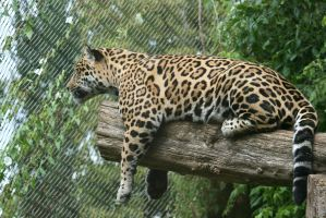 view to jaguar above by ingeline-art