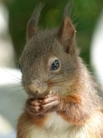 Squirrel 205 by Cundrie-la-Surziere
