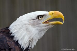 Bald Eagle 5 by MrTim