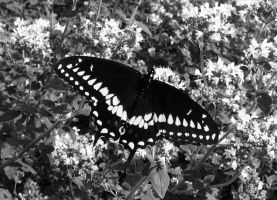 Butterfly by LordSinrath