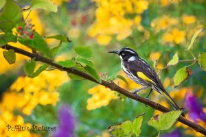 New Holland Honeyeater by tuftedpuffin