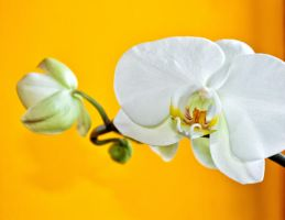 Big white orchid by sztewe