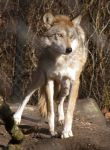 Mexican Wolf Stock 10 by HOTNStock