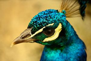 Peacock Close-up by E-The-Zombie
