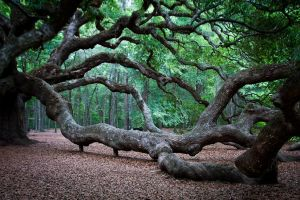 Charleston, SC - Angel Oak Tree by 31Enrose36