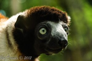 6890 - Crowned Sifaka by RobDavids-DigitalArt