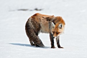 Fox3 by Gork82