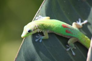 Gold Dust Day Gecko by Rock0426
