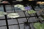 water lily reflection by andrejkape