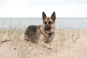 German Shepherd on Beach by elvaniel