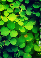 Cloverlike Wallpaper by lethalNIK-ART