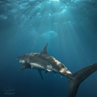 Great White Shark by Vitaly-Sokol