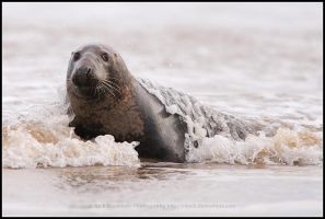 Seal Surprise by nitsch