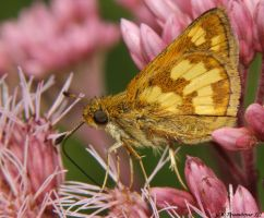 Little August Yellow Patch Skipper by natureguy