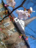 the first few cherry blossom by KiSDream