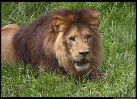 Lion: My meat by TVD-Photography