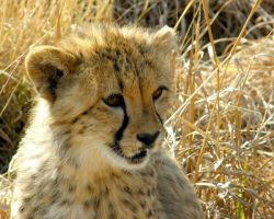 Cheetah Babe by Jenvanw