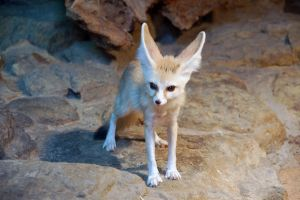 fennec0001 by Tosca-stock
