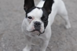 French bulldog by Spetsflickan