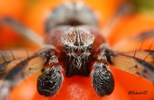 Boxing Spider by RichardConstantinoff