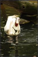 Hungry pelican by realny