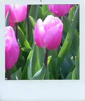 pink floid tulips by lilithStyle