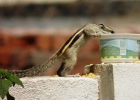 squirrel drinking water by kumarvijay1708
